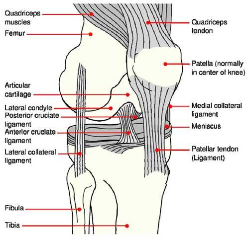 knee model